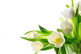 Fototapeta Tulipany - white tulips isolated on white background