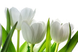 Fototapeta Tulipany - white tulip flowers isolated on white