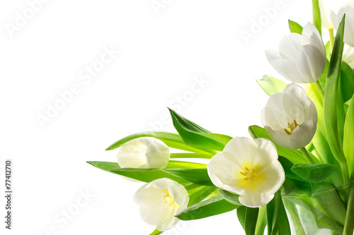 Fototapeta white tulips isolated on white background obraz