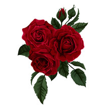 Beautiful Red Rose Isolated On White.