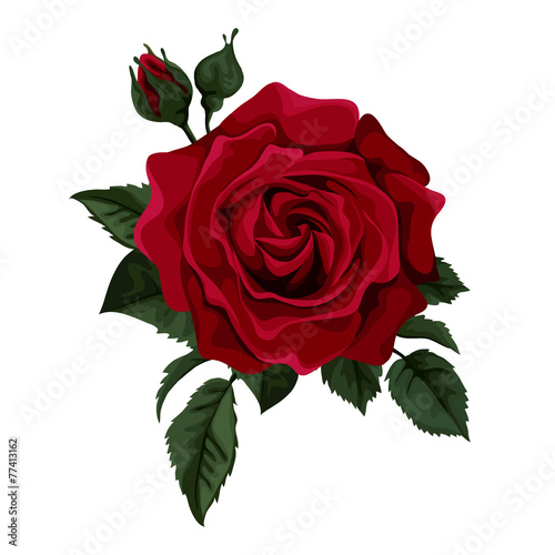 Photo  Beautiful red rose isolated on white.