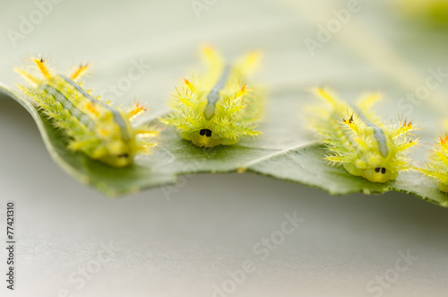 Photo  Row of caterpillar eating leaf.