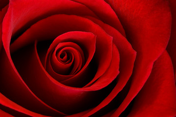 Obraz Vibrant Red Rose Close Up Macro - Abstract