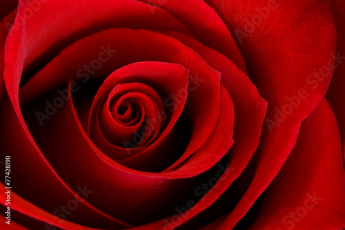 Foto op Aluminium Roses Vibrant Red Rose Close Up Macro - Abstract