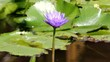 Lotus and Bee on the pond.Bee in Lotus Flower.Blue lotus.