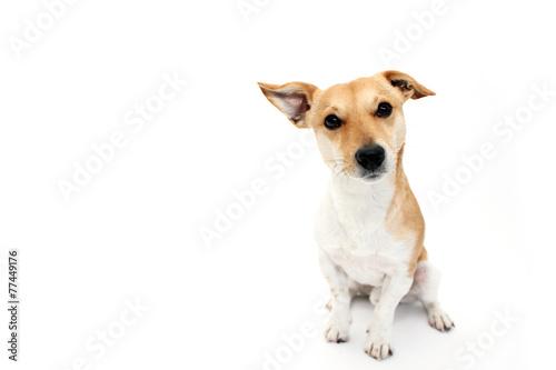 Fotografering  kleiner Hund guckt fragend in die Kamera
