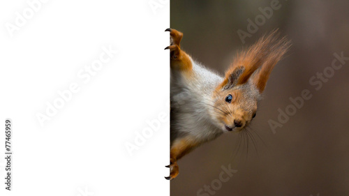 Foto op Canvas Eekhoorn red squirrel holding a poster