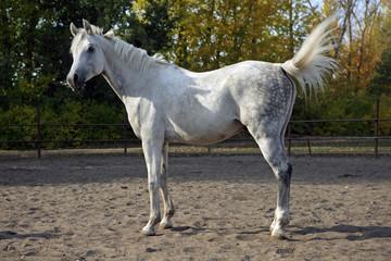 White Arabian horse standing in a paddock