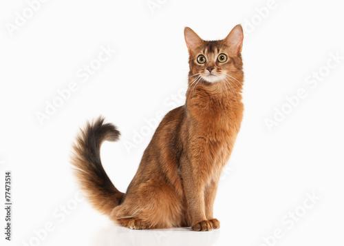 Keuken foto achterwand Kat Cat. Somali cat ruddy color on white bakcground
