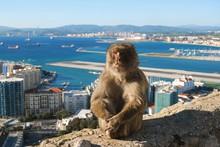 Gibraltar Barbary Macaque Ape Sitting