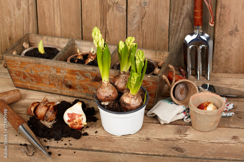 Poster Fleur Flower bulbs, pots on wooden table