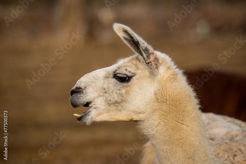 Staande foto Lama white llama head shot profile laughing