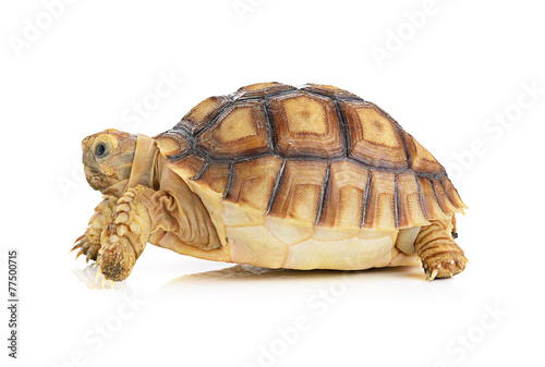 Poster Tortue turtle on white background