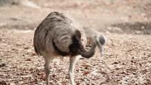 Bird Emu Walking