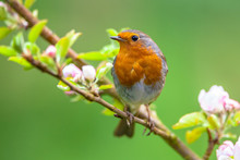 Robin On A Branch With White F...