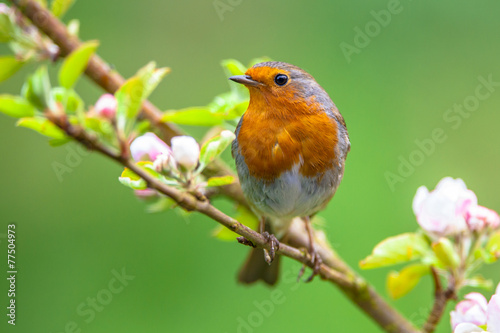 Canvas Print Robin on a branch with white flowers