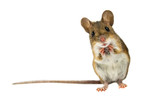 Fototapeta Zwierzęta - Surprised Field Mouse with clipping path
