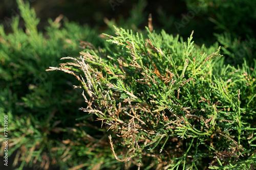 Fotografie, Obraz  Dieback of shoots juniper