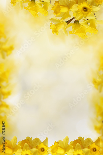 background with Yellow daffodils, for Your text