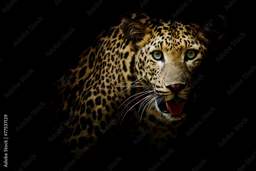 Fototapeta Close up portrait of leopard with intense eyes