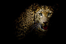 Close Up Portrait Of Leopard W...