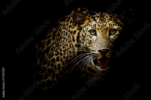 Foto op Canvas Luipaard Close up portrait of leopard with intense eyes