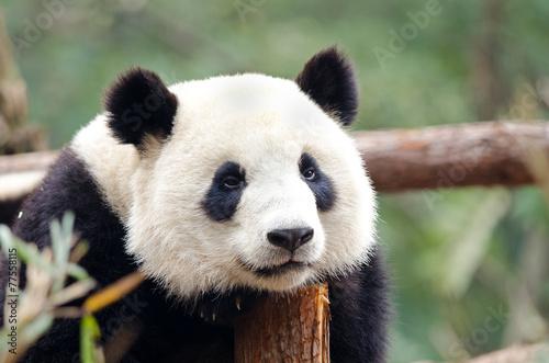Stickers pour portes Panda Giant Panda - Sad, Tired, Bored looking Pose. Chengdu, China
