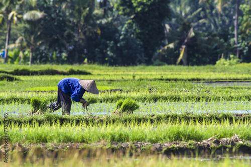 Garden Poster Rice fields Rice Planting