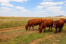 Cattle Grazing In The Veld