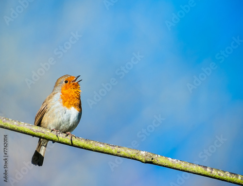 Poster Vogel cute little robin bird singing on a tree branch