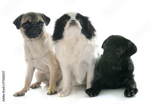 three little dogs Billede på lærred