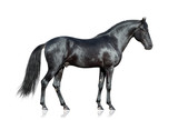 Czarny koń na białym tle