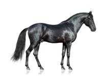 Black Horse Standing On White ...