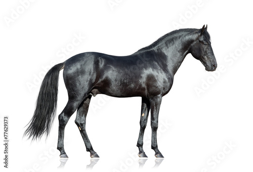 Spoed Foto op Canvas Paarden Black horse standing on white background, isolated.