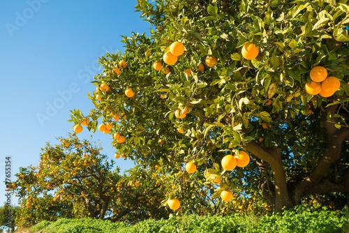 Vászonkép Orange field