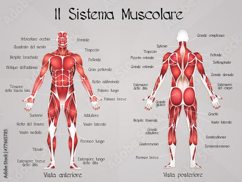 Fotografia the muscular system