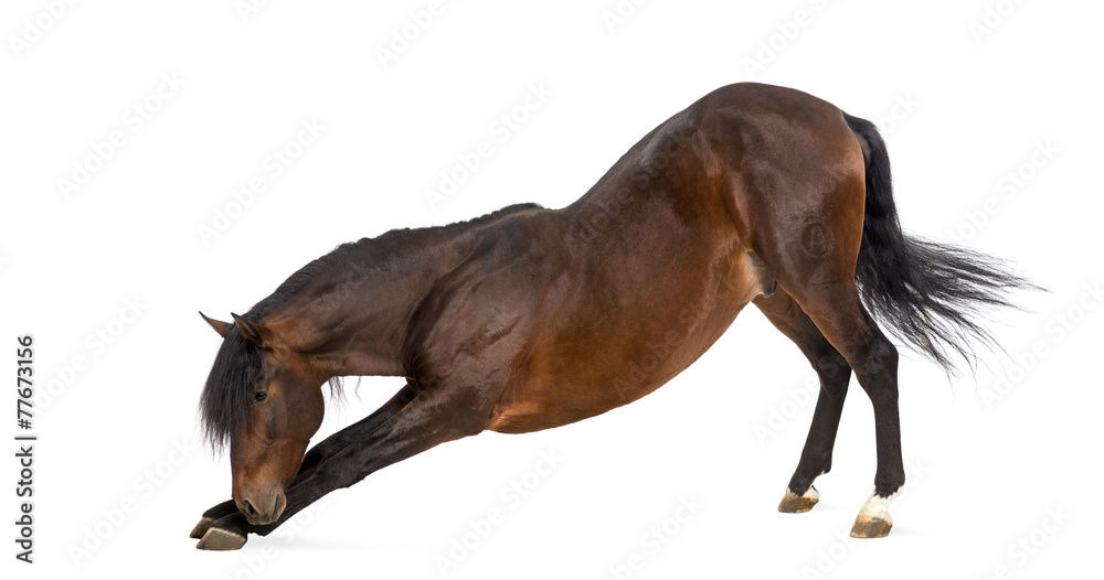 Fototapety, obrazy: Andalusian horse bowing