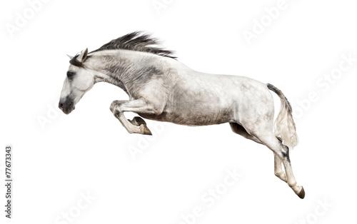 Fototapeta Andalusian horse jumping