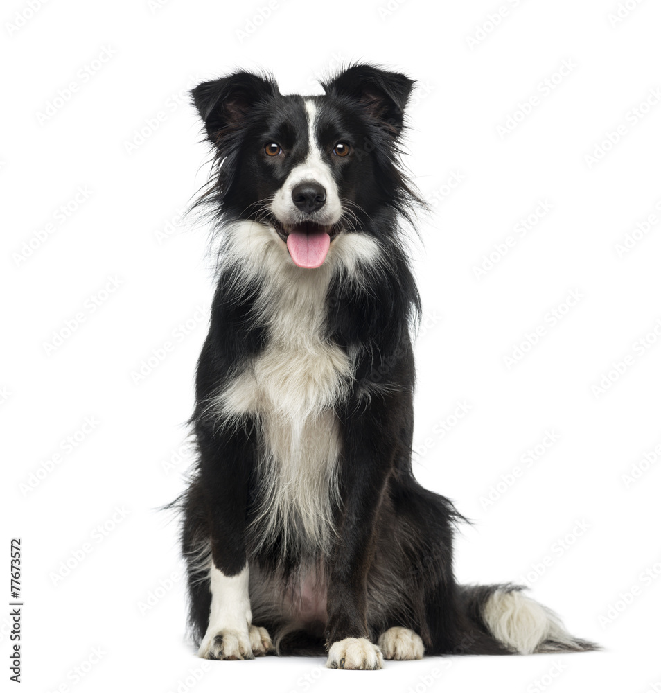 photo art print border collie 2 years old europosters
