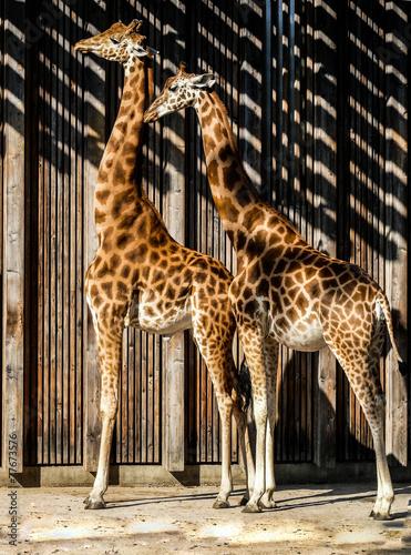 Fototapety, obrazy: Girafes