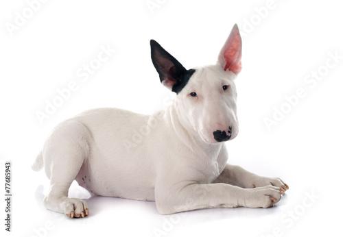 Stampa su Tela puppy bull terrier