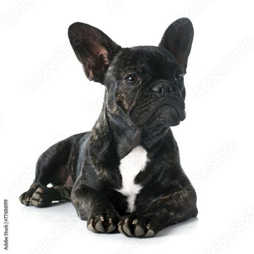 Tuinposter Franse bulldog french bulldog