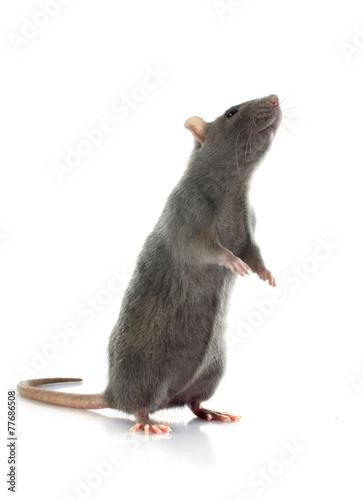 gray rat Fotobehang