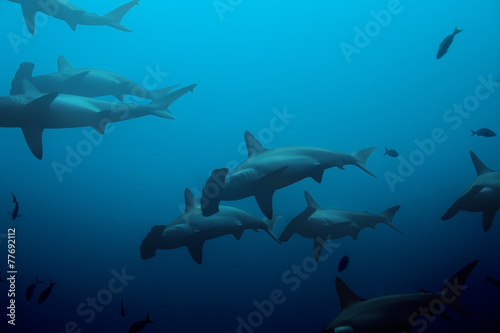 Obraz Large school of hammerhead sharks in the blue - fototapety do salonu