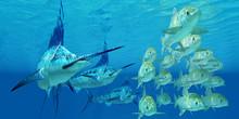 Marlin Attack Ayu Fish
