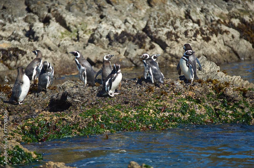 Penguins on Chiloé