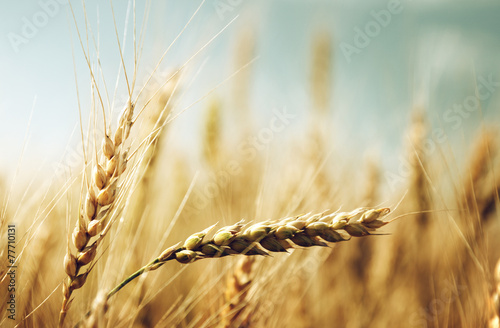 Canvas Prints Honey golden wheat field and sunny day