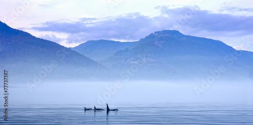 Obraz na płótnie Schwertwale in Landschaft, Killerwal bzw Orca, Orcinus orca