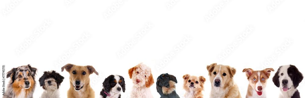 Fototapety, obrazy: Verschiedene Hundeköpfe in der Reihe
