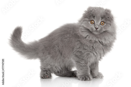 Fototapeta Scottish Highland fold kitten obraz